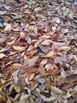 欅並木の落ち葉in小金井